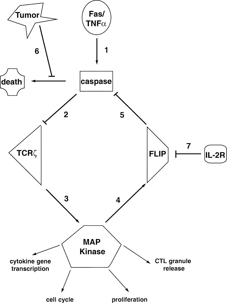 Cancer Induced Defective Cytotoxic T Lymphocyte Effector Function