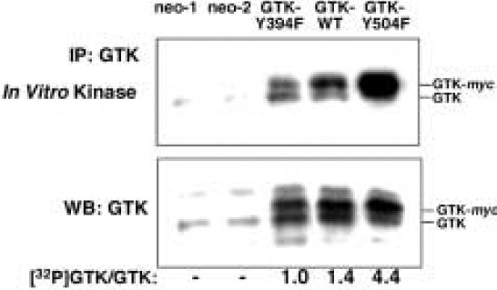 GTK Tyrosine Kinase-induced Alteration of IRS-protein Signalling in