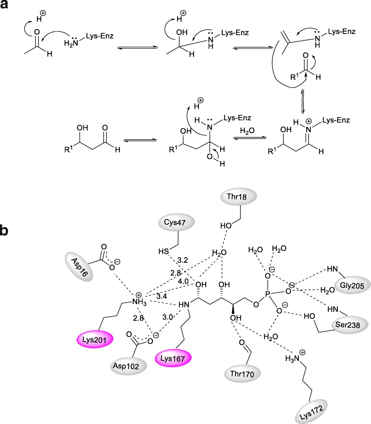 diagram of ribose deoxy scheme 4 2 deoxy d ribose 5 phosphate aldolase  dera  2 deoxy d ribose 5 phosphate aldolase
