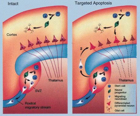 Manipulation of Neural Precursors in situ: Induction of