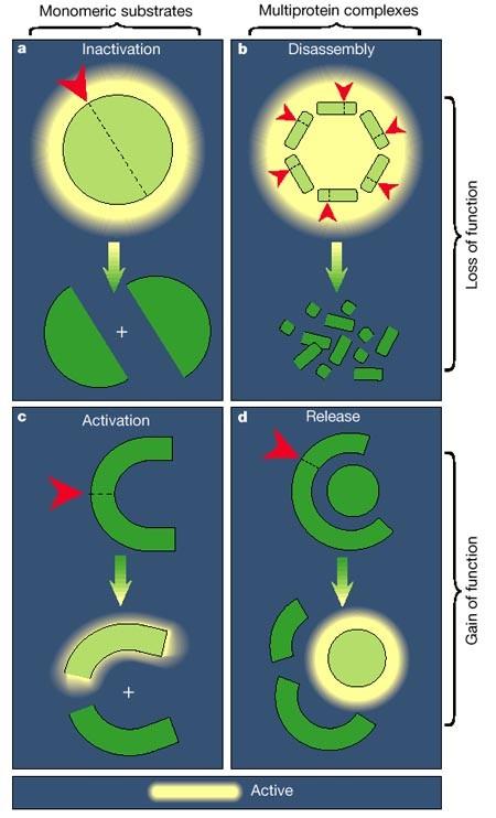 The biochemistry of apoptosis | Nature