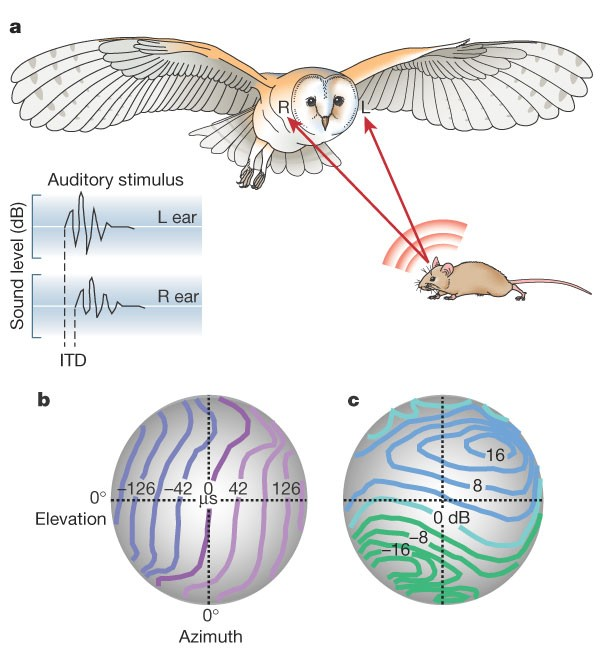 dbbac41a a, Sound waves generated by movements of a mouse are received by the owl's  left and right ears. The sound waveform in the right ear (inset) is delayed  and ...