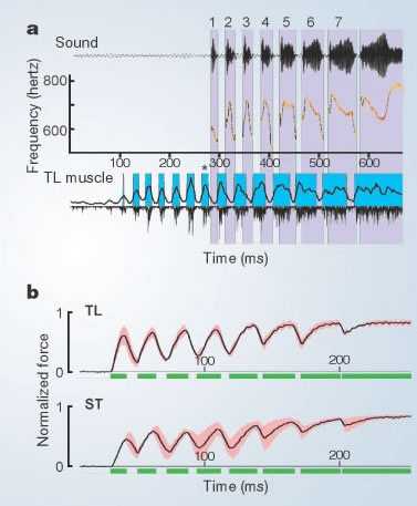Superfast muscles control dove's trill | Nature
