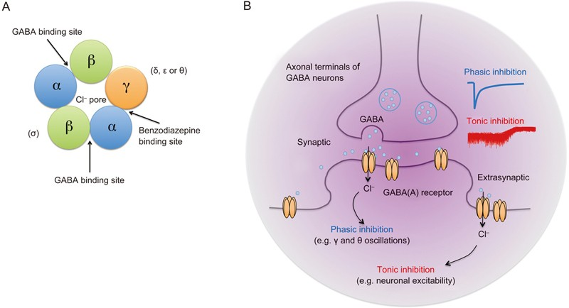 Gabaergic Inhibitory Neurons As Therapeutic Targets For