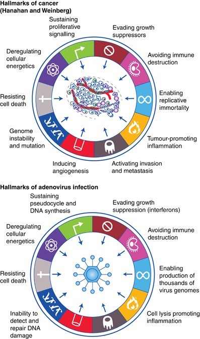 Oncolytic viruses: finally delivering   British Journal of