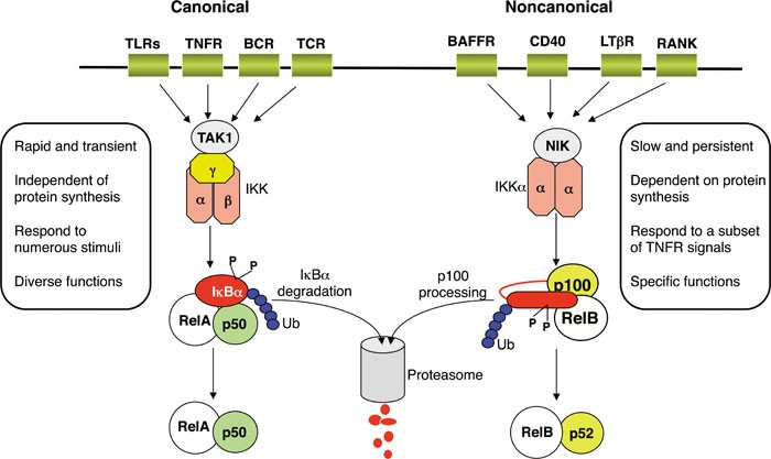 Non Canonical Nf Kb Signaling Pathway Cell Research
