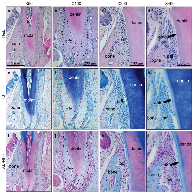 scientific figure of tooth histology