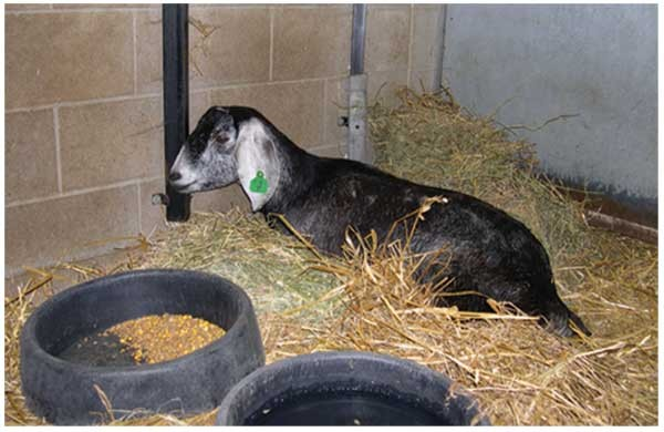 A downer Nubian goat with coughing | Lab Animal