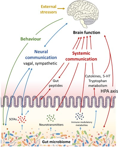 When Gut Bacteria Change Brain Function >> From Gut Dysbiosis To Altered Brain Function And Mental