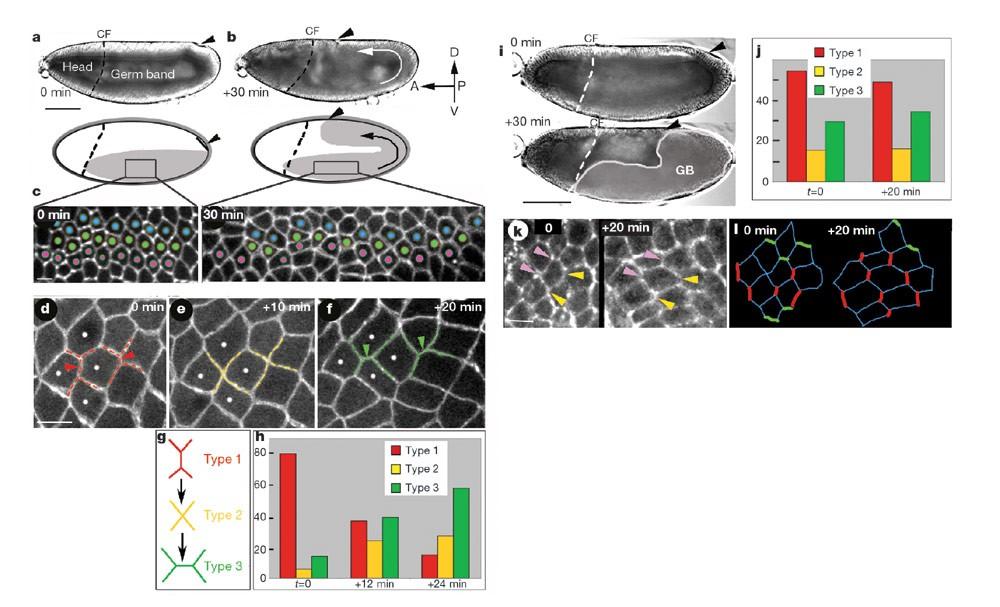 Myosin-dependent junction remodelling controls planar cell