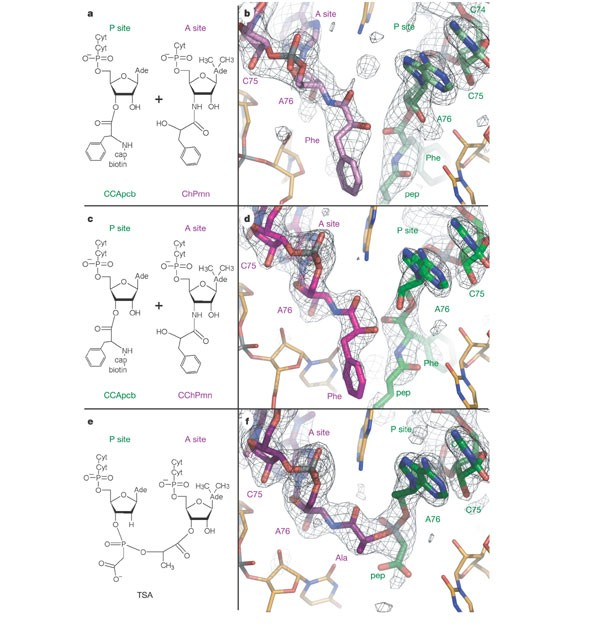 An induced-fit mechanism to promote peptide bond formation and