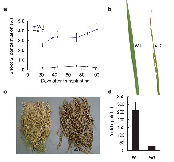 a, silicon concentration of shoots at each growth stage in wild-type rice  (wt
