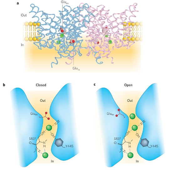 ClC chloride channels viewed through a transporter lens | Nature
