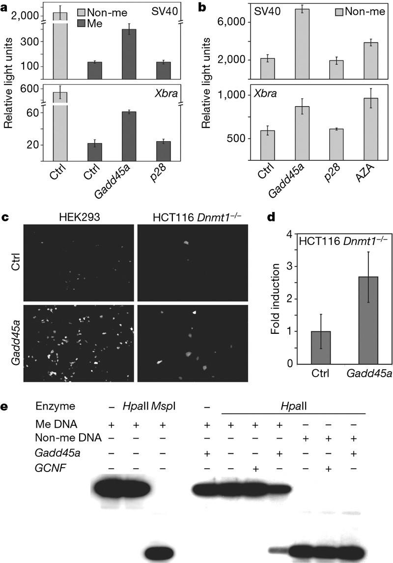 Andrea Schäfer Cobra 11 gadd45a promotes epigenetic gene activationrepair