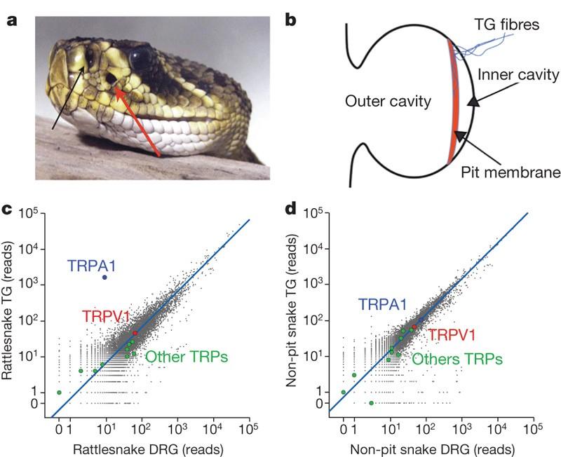 molecular basis of infrared detection by snakes nature viper diagram snake muscular diagram wiring diagram