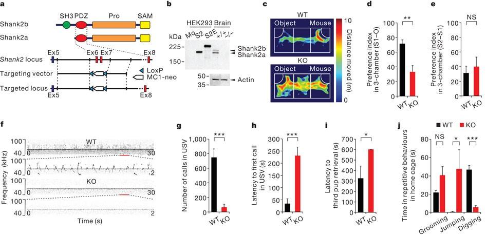 Autism Therapy Social Behavior Restored >> Autistic Like Social Behaviour In Shank2 Mutant Mice