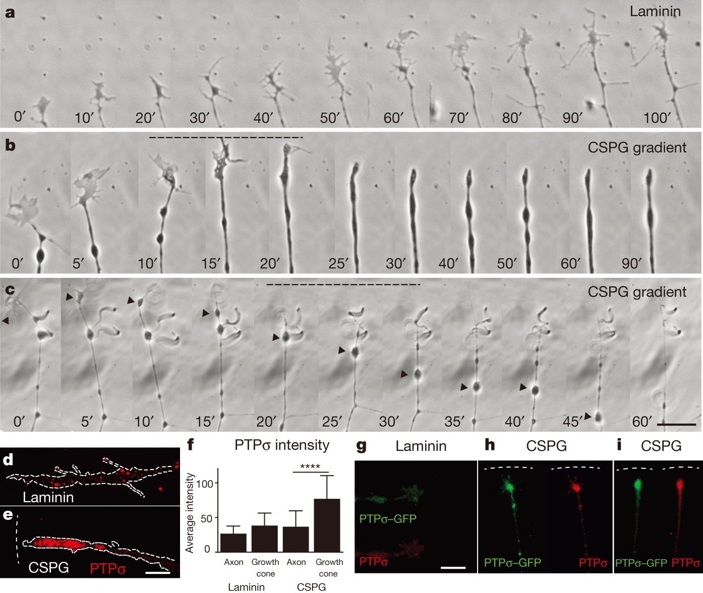 Modulation of the proteoglycan receptor PTPσ promotes recovery ...