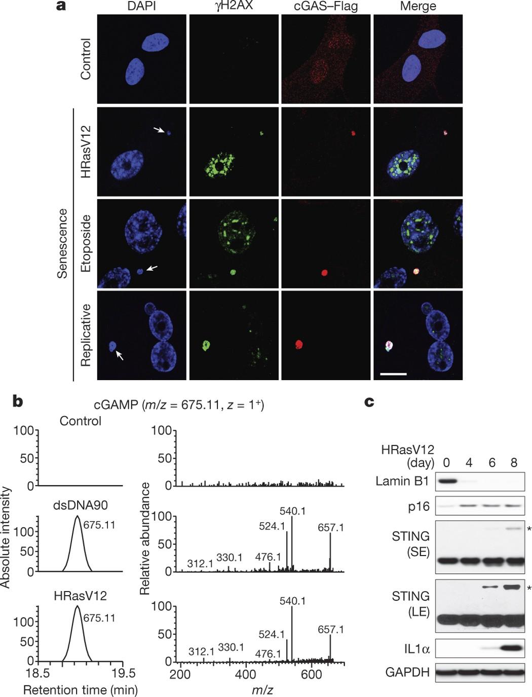 Cytoplasmic chromatin triggers inflammation in senescence