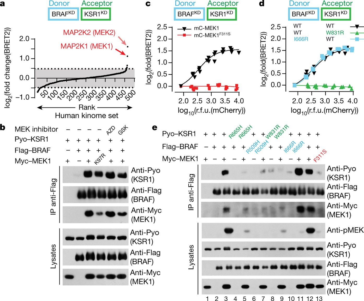 Mek Drives Braf Activation Through Allosteric Control Of Ksr Proteins Nature