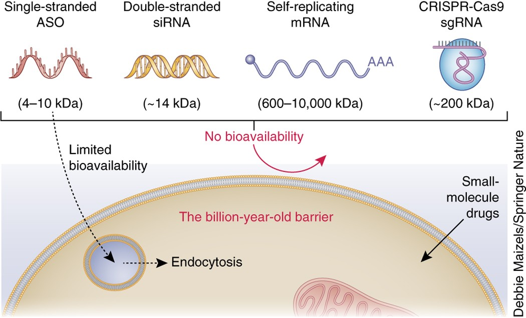 Overcoming cellular barriers for RNA therapeutics   Nature