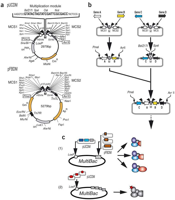 Baculovirus expression system for heterologous multiprotein