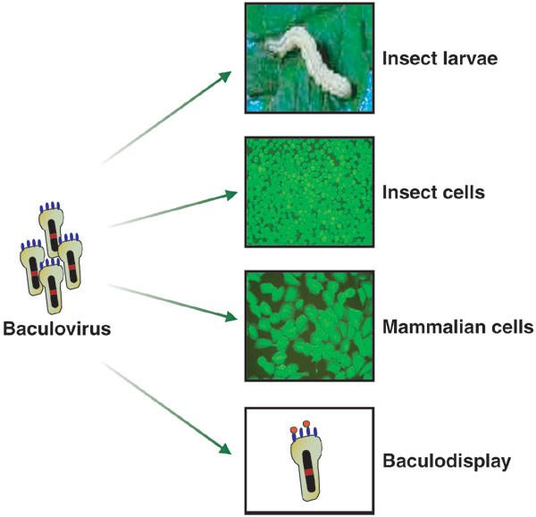 Baculovirus as versatile vectors for protein expression in