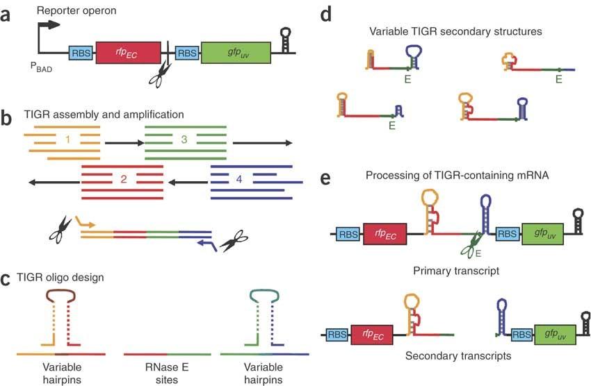 Combinatorial engineering of intergenic regions in operons