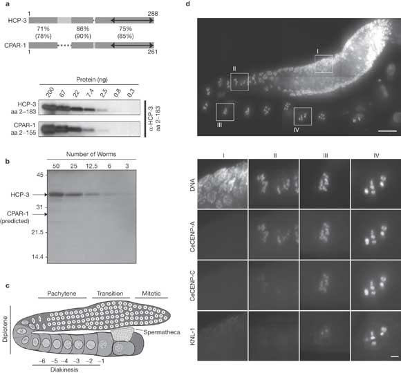 Differential role of CENP-A in the segregation of