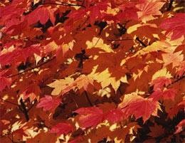 Why Autumn Leaves Turn Red Nature