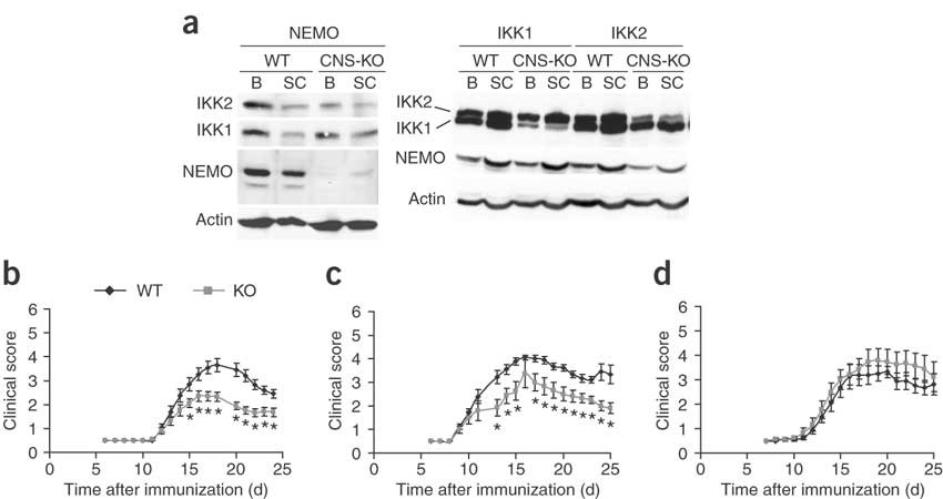 Inhibition of transcription factor NF-κB in the central