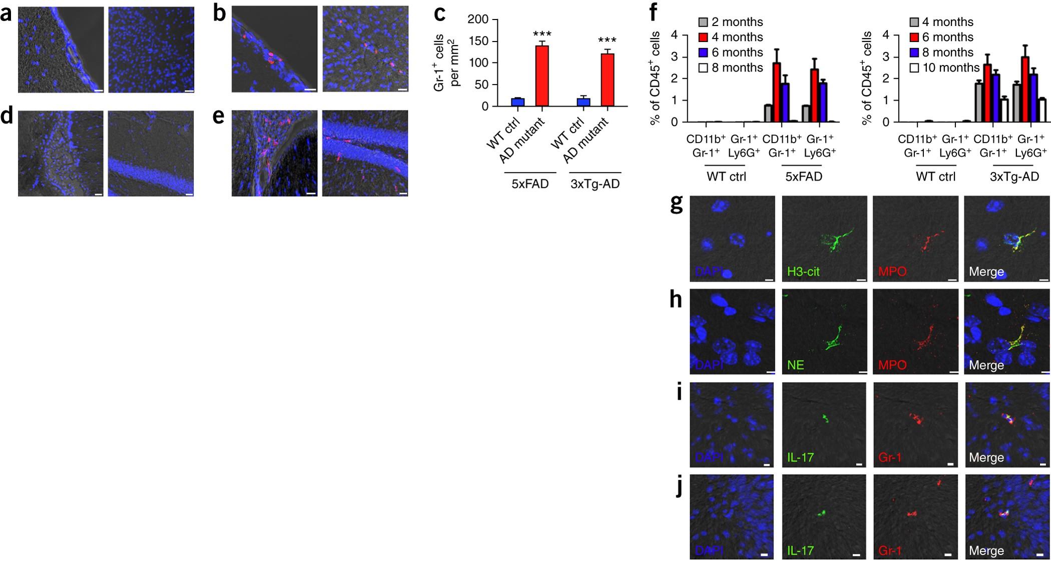 Neutrophils Promote Alzheimer S Disease Like Pathology And