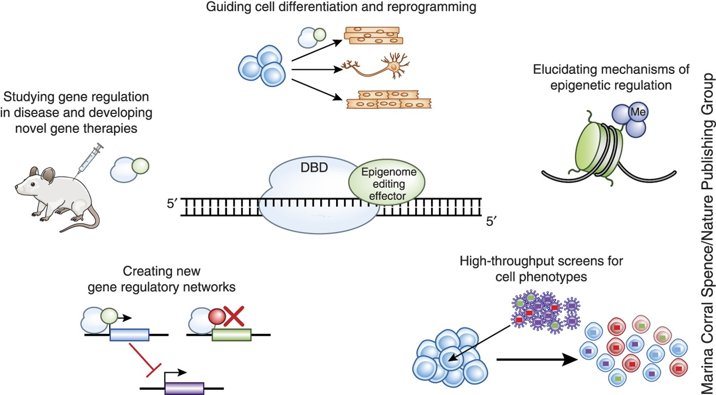 Image result for epigenome editing""
