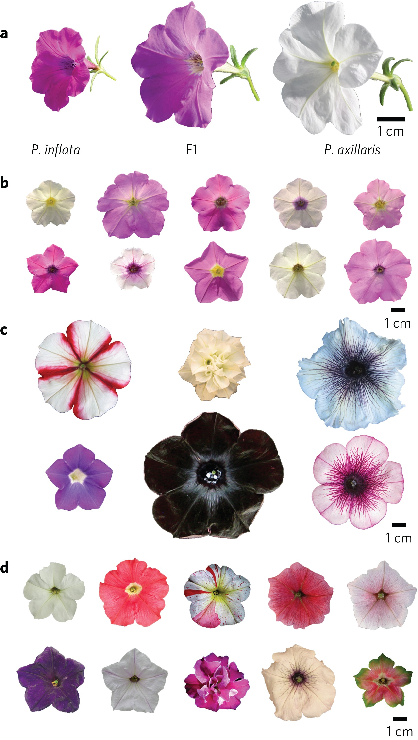 Insight Into The Evolution Of The Solanaceae From The Parental