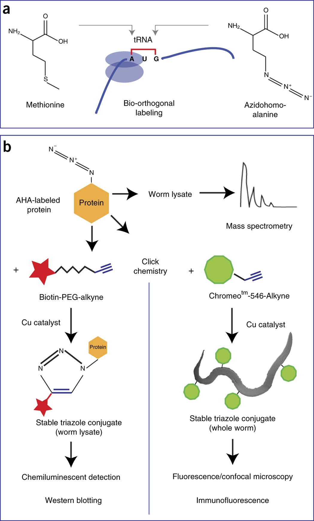 Bio Orthogonal Labeling As A Tool To Visualize And Identify
