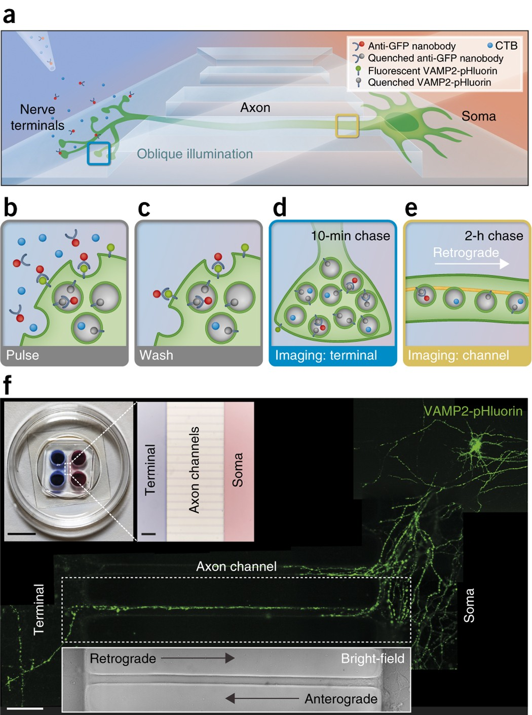Visualizing endocytic recycling and trafficking in live