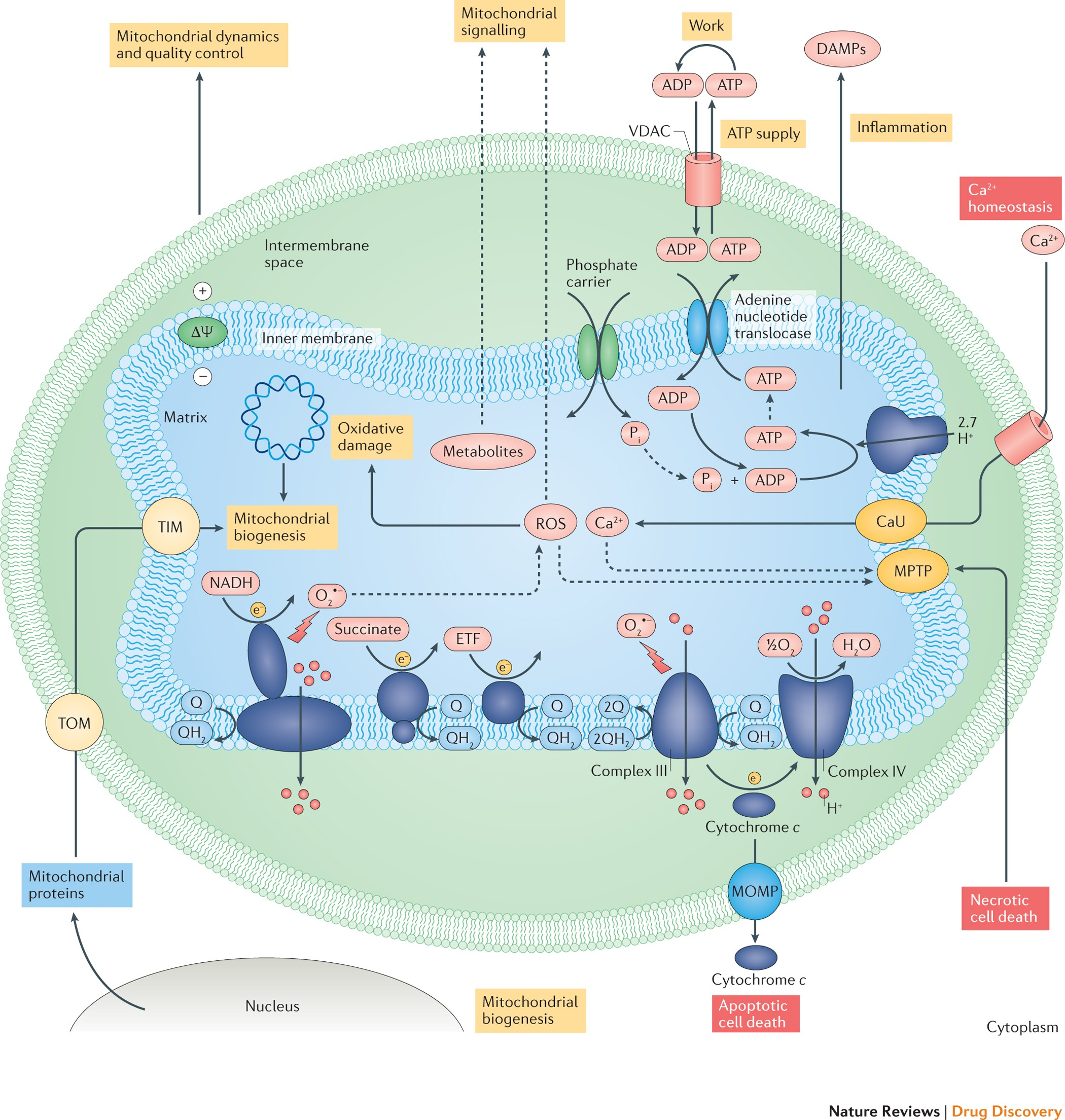 Mitochondria As A Therapeutic Target For Common Pathologies