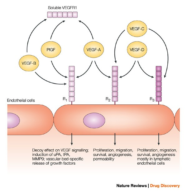 Discovery and development of bevacizumab, an anti-VEGF antibody for