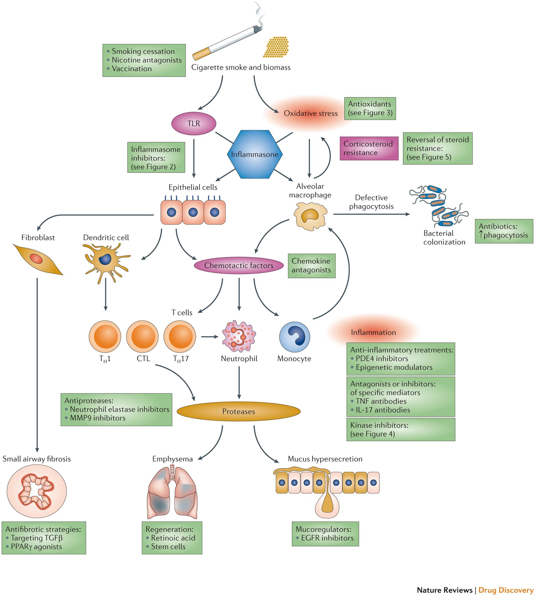 New anti inflammatory targets for chronic obstructive pulmonary ...