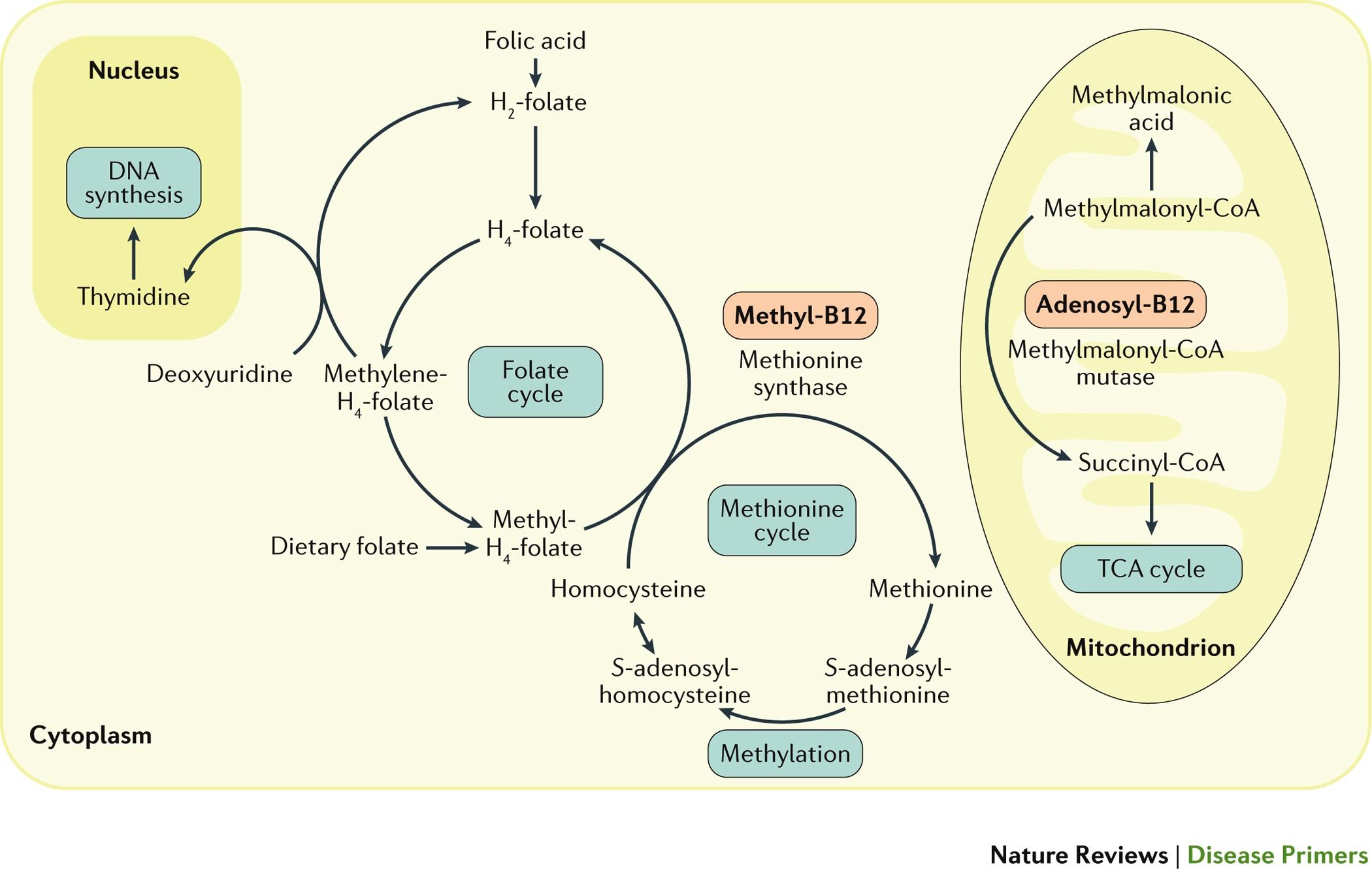 Vitamin B 12 deficiency   Nature