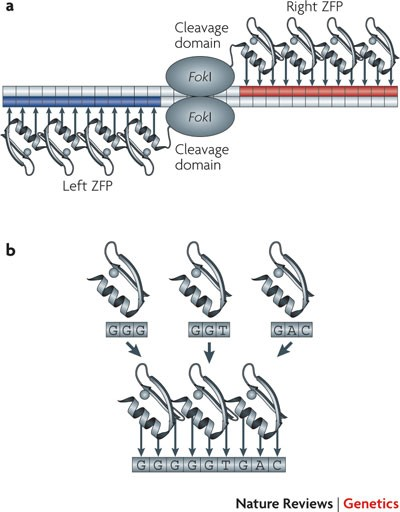 Genome editing with engineered zinc finger nucleases   Nature Reviews  Genetics