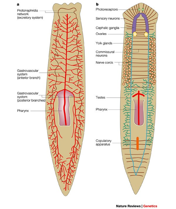 not your father's planarian: a classic model enters the era of functional  genomics | nature reviews genetics