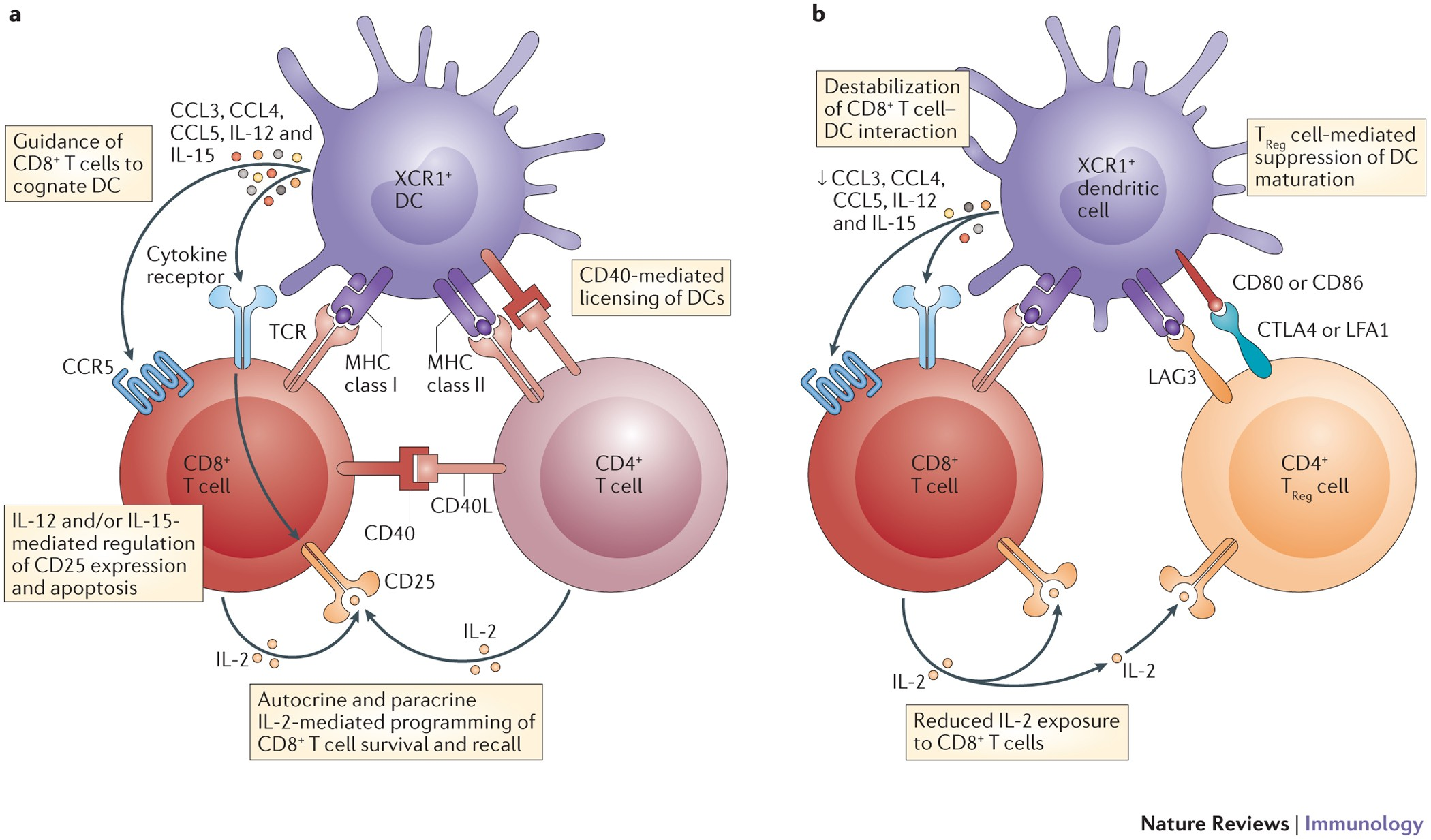 The multifaceted role of CD4 + T cells in CD8 + T cell memory ...