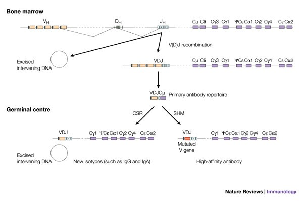 The mechanisms of immune diversification and their disorders