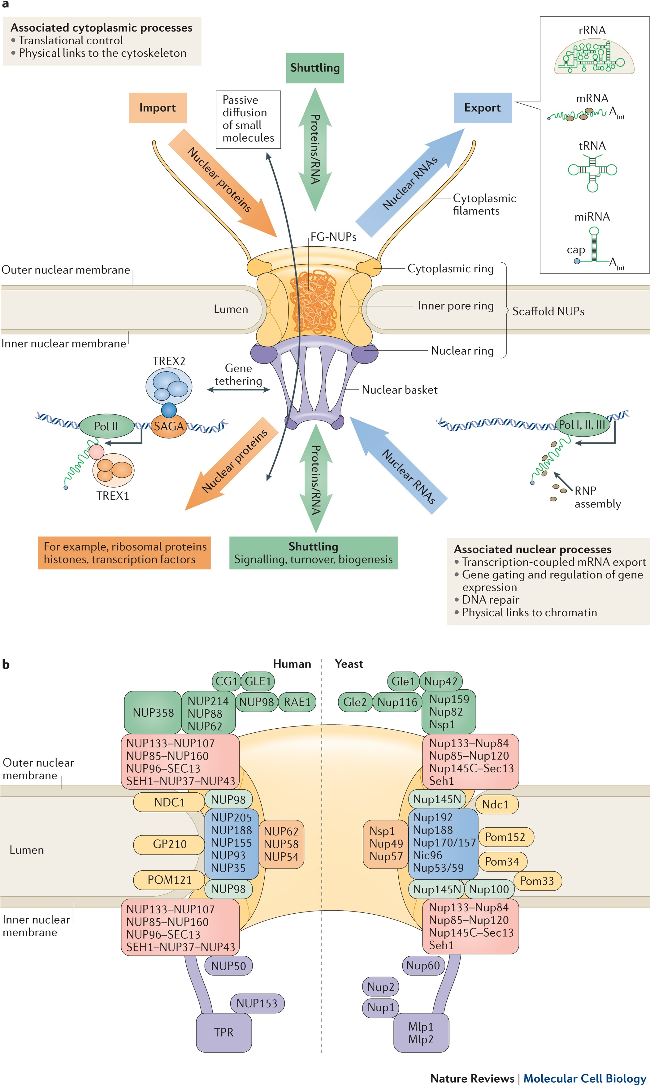 The Nuclear Pore Plex Understanding Its Function Through