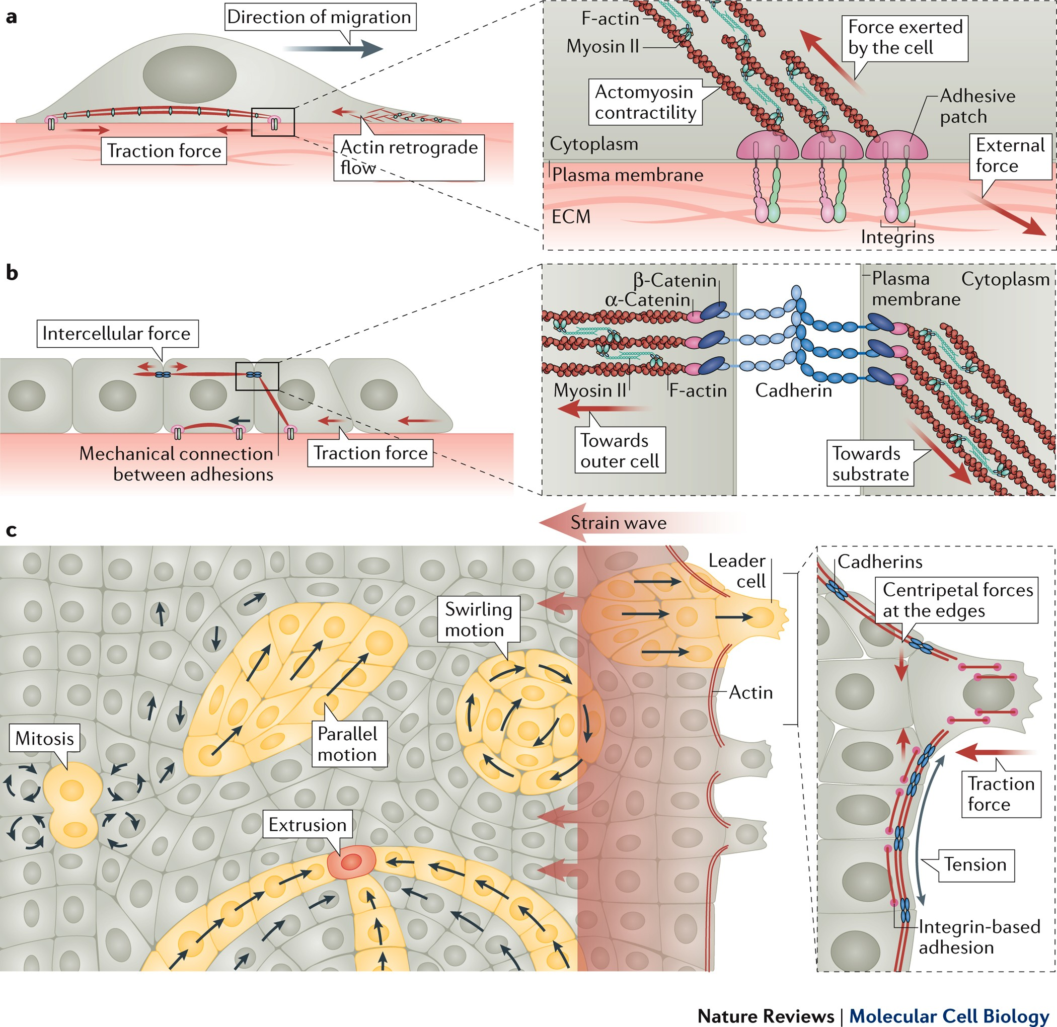 4969 transfer switch wiring diagram mechanobiology of collective cell behaviours nature reviews  mechanobiology of collective cell