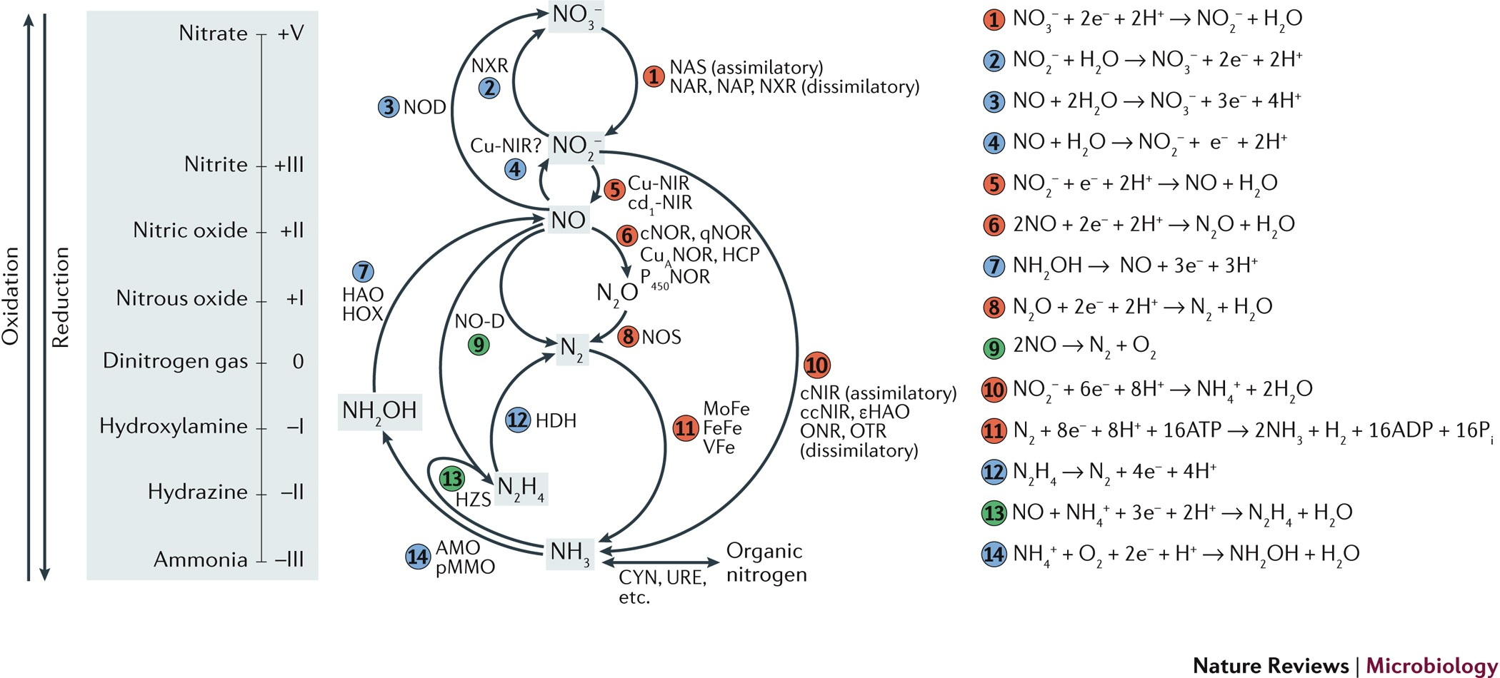 The microbial nitrogen-cycling network   Nature Reviews Microbiology