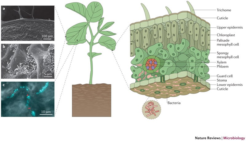 Microbial life in the phyllosphere | Nature Reviews Microbiology