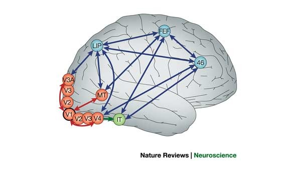 Primary visual cortex and visual awareness   Nature Reviews