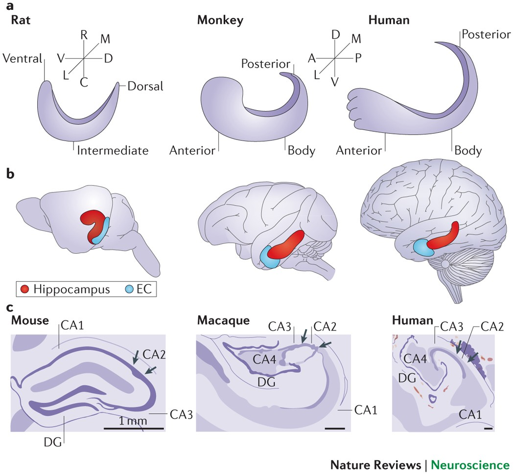 Functional Organization Of The Hippocampal Longitudinal Axis