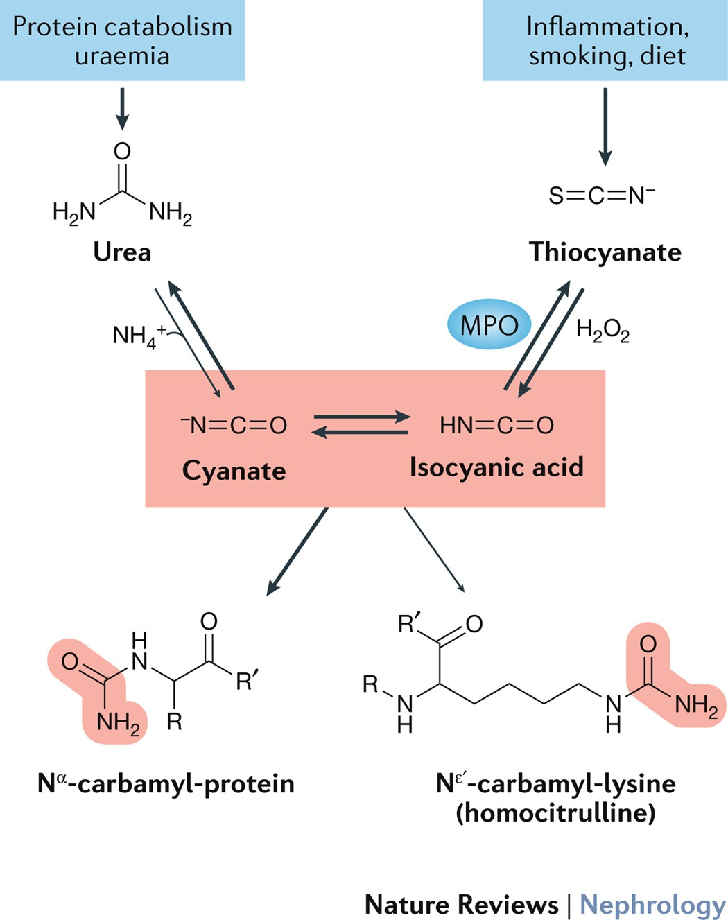 Mechanisms and consequences of carbamoylation | Nature